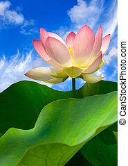 Pink water lily and beautiful sky
