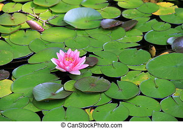 Pink water lily and green leaves