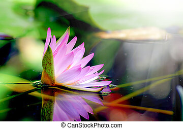 Pink water lily and reflection in a pond.