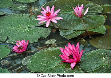 Pink water lily flowers and leaves