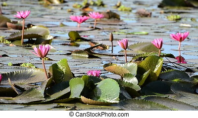 Pink water lily flowers in the lake