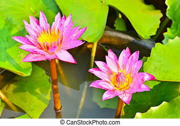 Pink water lily in a bowl.
