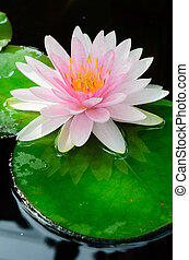 pink water lily in the pool