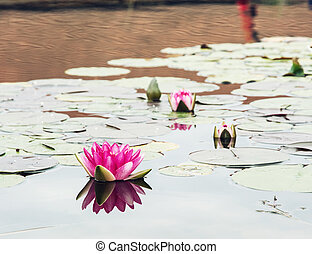 Pink water lily is reflecting in the garden lake
