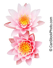 Pink water lily isolated on white background