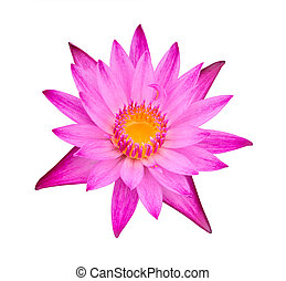 pink water lily isolated
