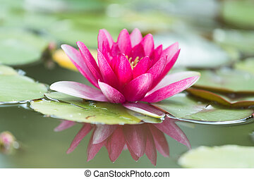 Pink water lily Nymphaea Masaniello among green leaves
