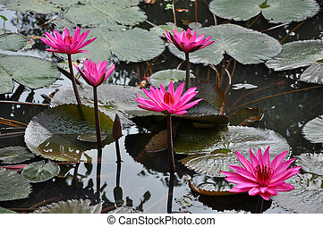 Pink water lily on a lake
