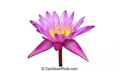 pink water lily on isolated