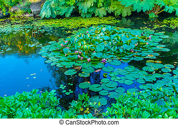 Pink Water Lily Pads Van Dusen Garden Vancouver British Columbia Canada