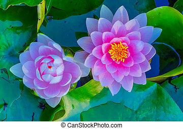 Pink Water Lily Pads Van Dusen Garden Vancouver Canada