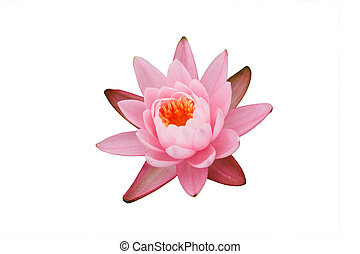 Pink Water Lily  - Pink Water Lily