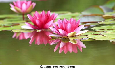 Pink Water Lily - Pink water lily is beautifully reflected...