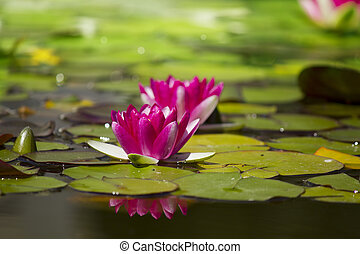Pink waterlilies in pond .Flowers card