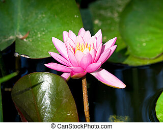 waterlilly - pink waterlilly in the pond