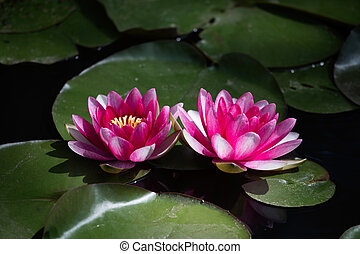 Pink waterlily (Nymphaea alba) in the pond
