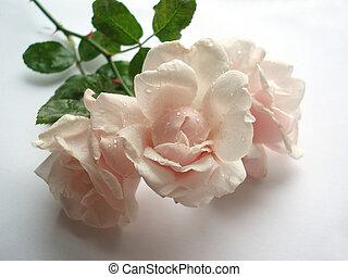 Pink wet rose