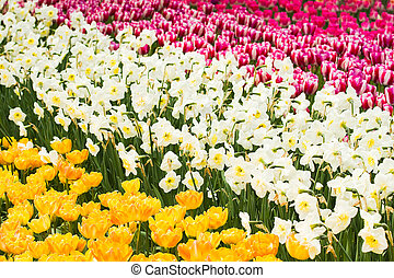 Pink, white and yellow tulips and daffodils in spring