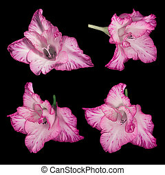 Pink-white gladiolus flowers on a black background