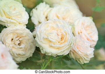 Pink white roses in garden