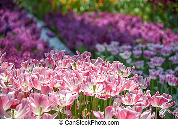 Pink-white tulips in the garden