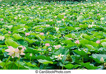 Pink, white, yellow nuphar flowers, green field on lake, water-lily, pond-lily, spatterdock, Nelumbo nucifera, also known as Indian lotus, sacred lotus, bean of India, lotus.