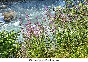 Pink Wildflowers Lake Louise Banff National Park Alberta Canada