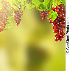 Pink wine grapes