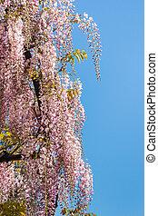 pink wisteria flowers in bloom against blue sky