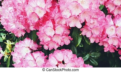 Pink with white azalea flowers. Rhododendron. The camera...