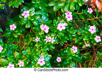 Pink Wrightia isolate cost-up.