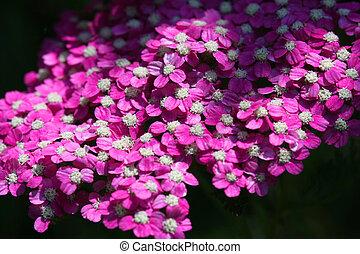 Pink Yarrow flower
