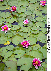 Pink yellow water lily