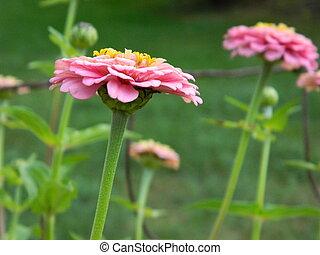 Pink Zinnia Flower Close-up