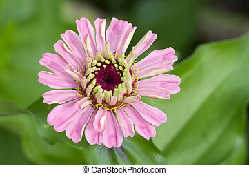 Pink Zinnia Flower Closeup