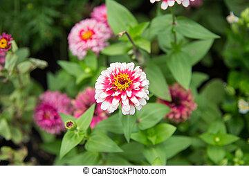 Pink Zinnia Flower