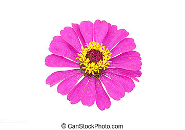 Pink Zinnia Flower Isolated on White Background