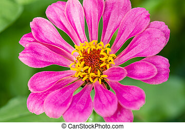 Pink Zinnia flower on a green background