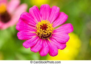 Pink Zinnia flower (Zinnia violacea Cav)
