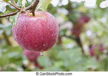 pinkish, äpple, närbild