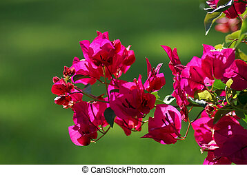 pinkish, blomningen, röd