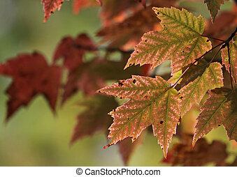 pinkish, röd lönn, bladen
