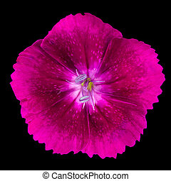 Cute little pinks purple dianthus carnation wild flower isolated on black background
