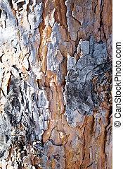 pino, corteccia