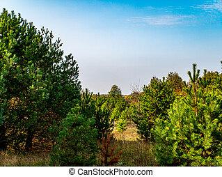 pino, horizon., contro, azzurro cielo, foresta