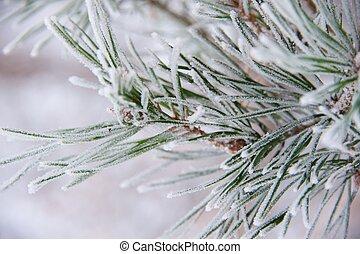 pino, ramoscello