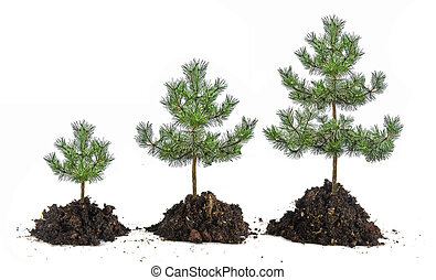 pinos, crecimiento