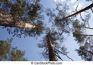 pinos, debajo, vista
