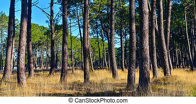 pinos, marítimo