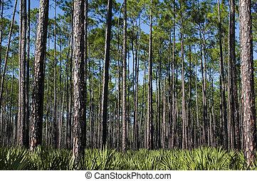 pinos, palmettos, sierra